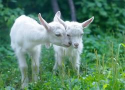 У козлят появились корочки на губах