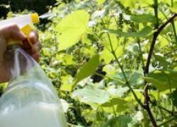 Чем можно опрыскивать виноград