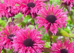 Монарда – ароматная красотка вашего сада
