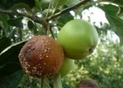 Яблони и груши повредила плодовая гниль