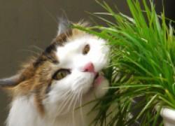 Почему кошки поедают траву