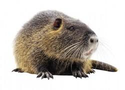 Рацион для нутрий: чем накормить домашнюю крысу