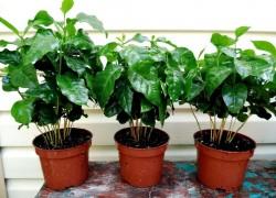 Вырастите собственную кофейную плантацию на... подоконнике
