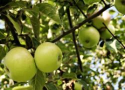 Почему побледнели яблоки