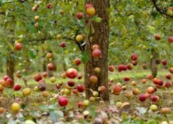 Почему опадают плоды с дерева