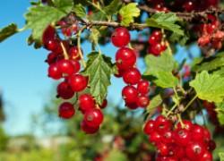 Почему красная смородина дает мелкие плоды