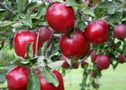 Красномясые яблоки: хит сезона