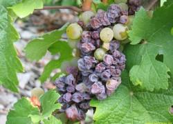 Почему гниет виноград