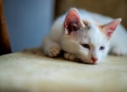 Гельминтоз у домашних кошек
