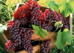 Виноград пусть созревает