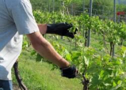 Нагрузка винограда первые три года