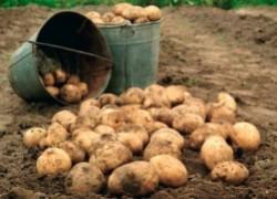 Пойдем копать картошку