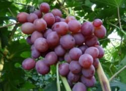 Воевода – перспективный сорт винограда