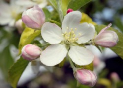Яблони опять в цвету