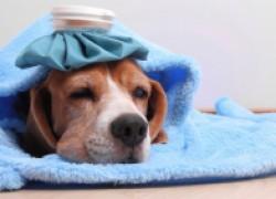 Сезонные заболевания собак