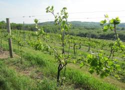 Криопротекторы для винограда и не только