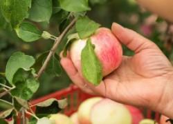 Реанимация яблонь после урожая