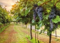 Делать вино по рецепту Руслана не рекомендую