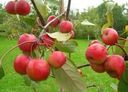Райски полезные... яблочки
