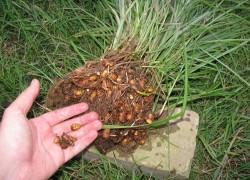 Земляной миндаль – орешки на любителя