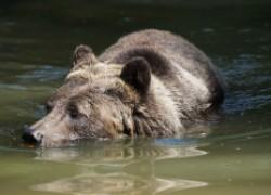 Как медведь плавает