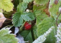Спасайте урожаи до заморозков