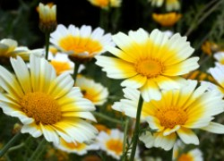 Хотите полакомиться... хризантемой