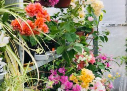 Тропические бабочки бугенвиллий собрались в моем доме