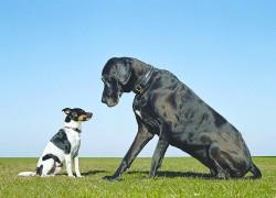 Возможна ли вязка крупной и мелкой собак