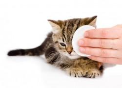 Можно ли протирать глаза котенку чаем
