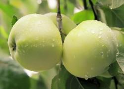 Куда пропали старинные сорта яблонь
