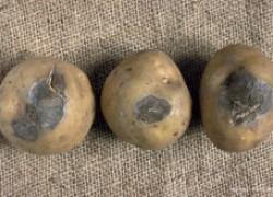 Картошка: о каких болезнях расскажут клубни