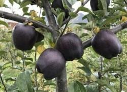 Яблочко «Черный алмаз» продают по 20 долларов
