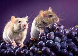 Мыши − серьезная проблема