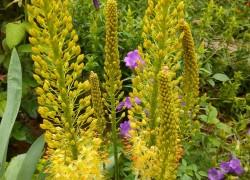Эремурус – цветок пустынь и степей
