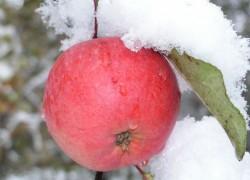 Яблоки на... снегу