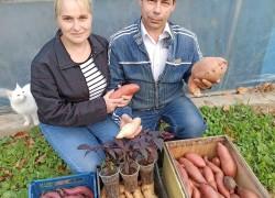 Экзотика в помощь, или как семья луцан стала батат выращивать