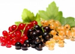 Смородина – ягода с характером
