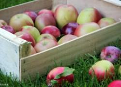 Яблоки: кто дольше пролежит