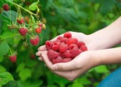 Урожай ягодников будет больше