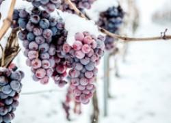 А стоит ли искать морозостойкий сорт винограда