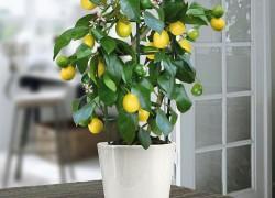 Как вырастить лимон, памело, грейпфрут