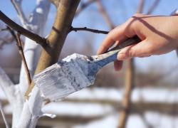 О морозоустойчивости штамба плодовых деревьев
