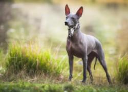 Порода собак ксолоитцкуинтли