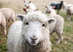 Воспаление межпальцевой железы у овец