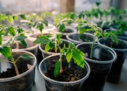 Что нужно для получения крепкой рассады помидоров