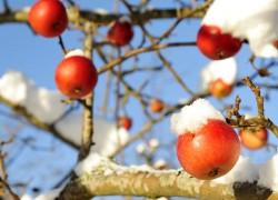 Выдержали ли фруктовые деревья морозы
