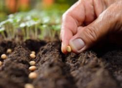 Какие семена сажать: свежие или старые?