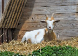 Фурункулез вымени у козы