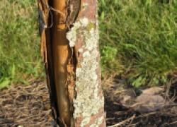 Искусственная кора защитит раненые деревья